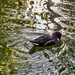 Young Moorhen Caught In A Shaft Of Sunlight