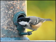 19th Nov 2017 - A visit from the coal tit