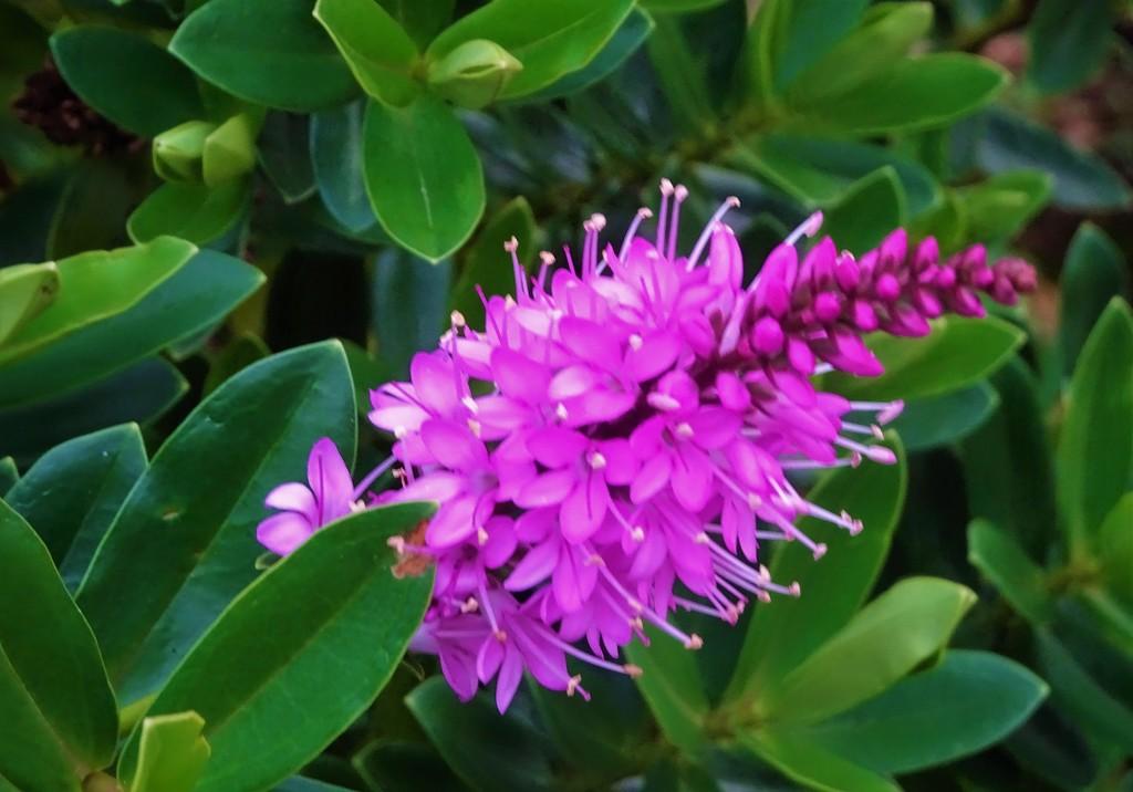Hebe in flower  by beryl