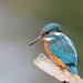 2017 11 20 - Kingfisher
