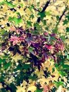 20th Nov 2017 - Lori's Sweetgum Tree