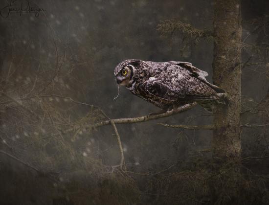 Great Horned Owl  by jgpittenger