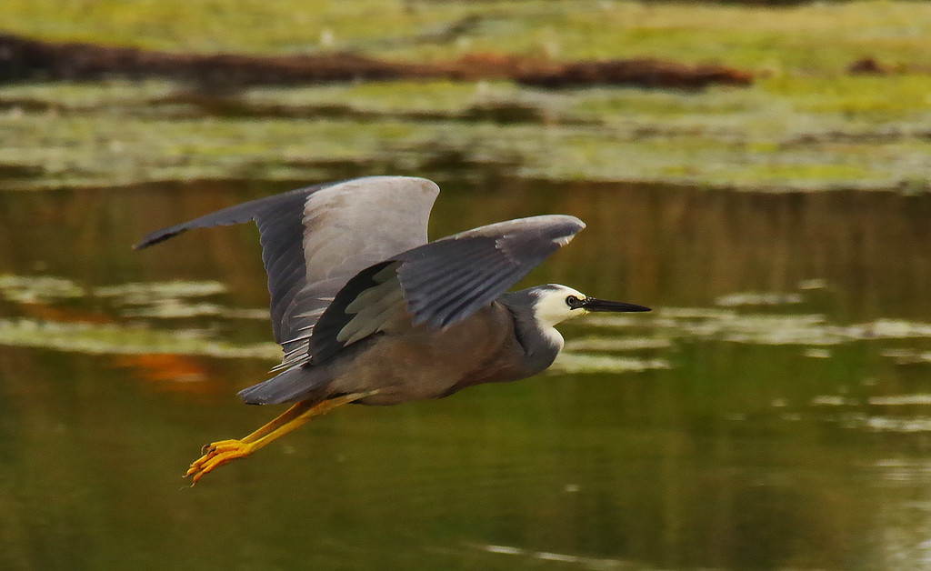 White faced heron in flight by maureenpp
