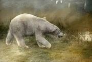21st Nov 2017 - Polar Bear