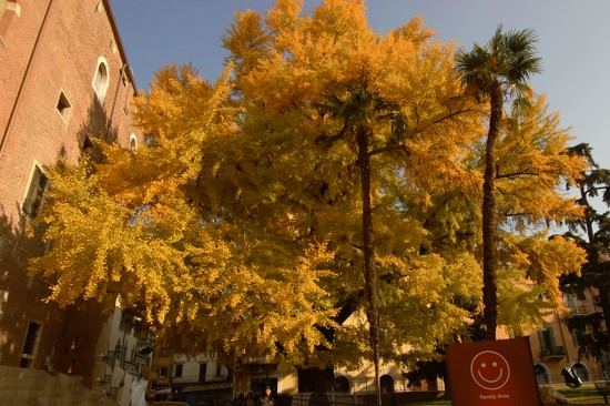 A great beautiful Ginkgo Biloba by caterina