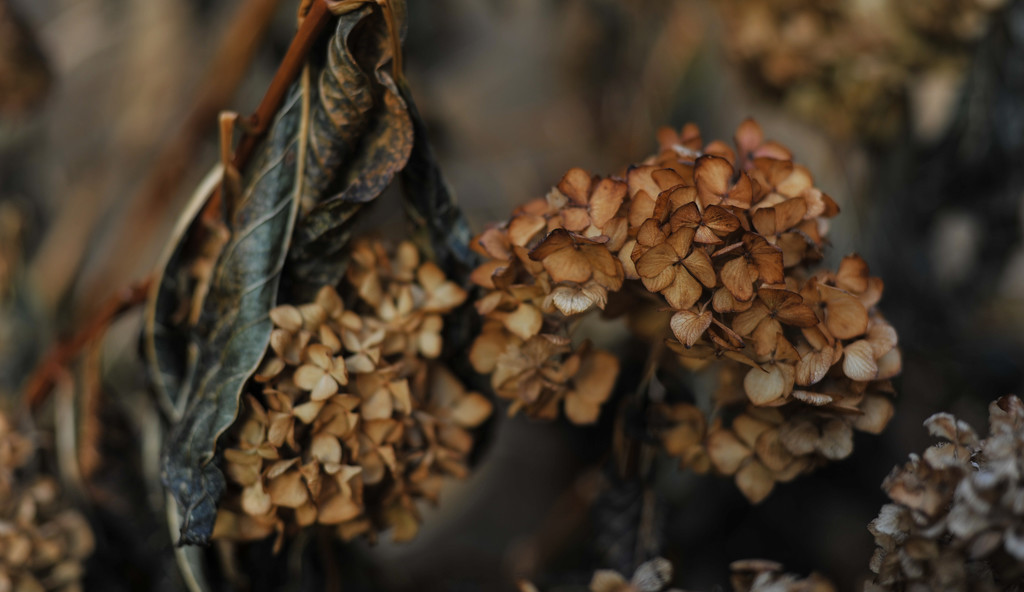 Dried hydrangea by loweygrace