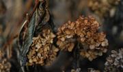 21st Nov 2017 - Dried hydrangea