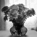 B&W Chrysanthemums by randystreat