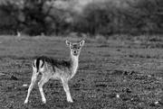 20th Nov 2017 - B&W Bambi
