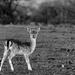 B&W Bambi