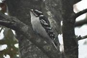 21st Nov 2017 - Woodpecker in the woods.