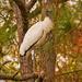 Woodstork in the Trees!