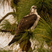 Another Osprey in the Pines!