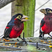 Double toothed Barbet in birds of Eden