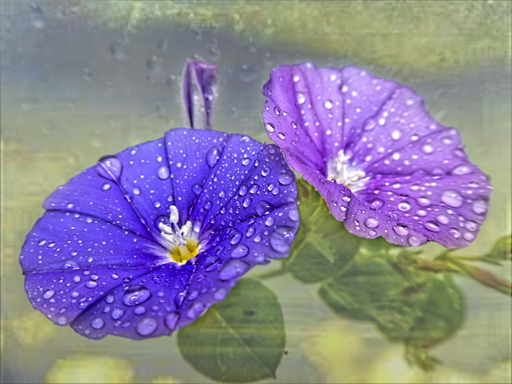 Convulvus in the rain.... by ludwigsdiana