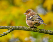 22nd Nov 2017 - Chaffinch
