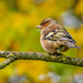 Chaffinch by carolmw