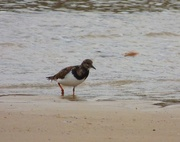 22nd Nov 2017 - Turnstone - Arenaria interpres