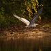 Blue Heron in Retreat!