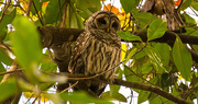 22nd Nov 2017 - Thanksgiving Barred Owl!