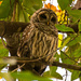 Thanksgiving Barred Owl! by rickster549