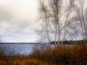 16th Nov 2017 - Birch by the Bay