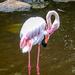 A Greater Flamingo in Birds of Eden
