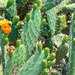 Prickly Pears.....