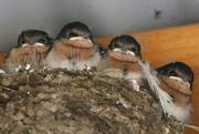 23rd Nov 2017 - Sad little swallows