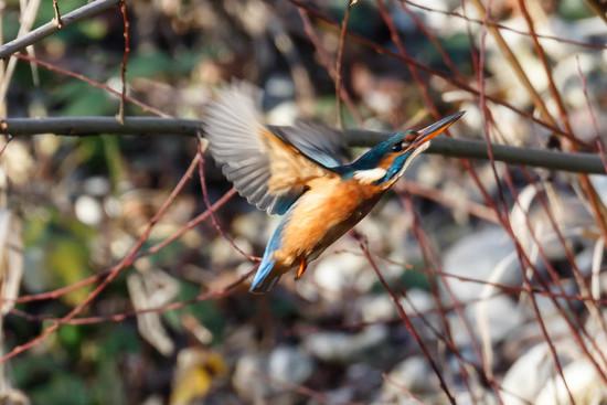 Female Kingfisher in flight by padlock