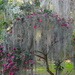 Spanish moss and camellias by congaree