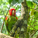 Red Masked Conure at Birds of Eden.....