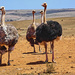 A male Ostrich and part of his harem, in the Karoo. by ludwigsdiana