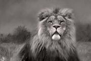24th Nov 2017 - Lion King