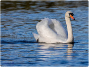 24th Nov 2017 - Sunlit Swan