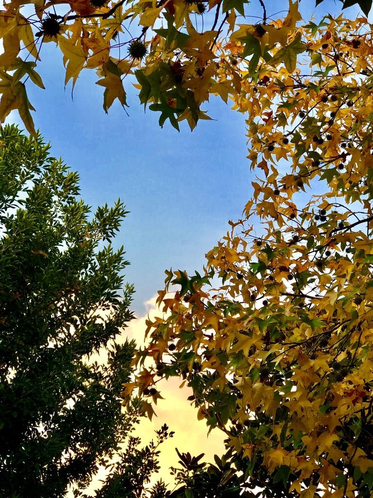 The Sweet Gum tree fruit by louannwarren