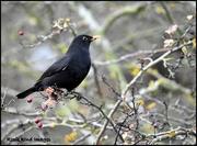 24th Nov 2017 - Mr Blackbird