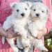George and Cassie 7 weeks old by pamknowler
