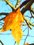 25th Nov 2017 - Hanging on to Autumn
