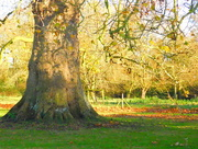 26th Nov 2017 -  Grand old tree