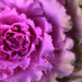 Ornamental Purple Cabbage  by joysfocus