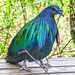 A Nicobar Pigeon at Birds of Eden. by ludwigsdiana