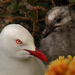 Red billed gull and chick by maureenpp
