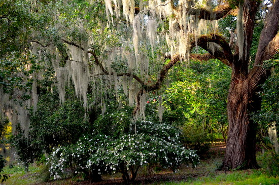 Spanish moss, live oak and camellias by congaree