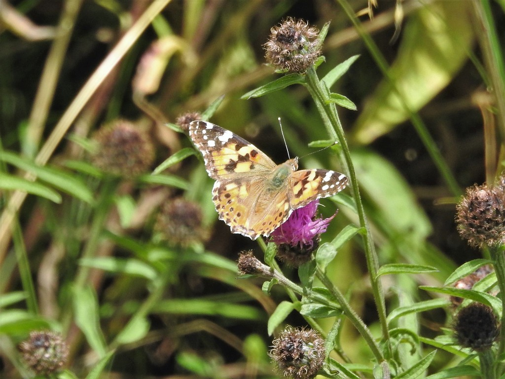 Painted Lady by oldjosh