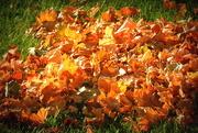 22nd Nov 2017 - Leaves in the sunlight