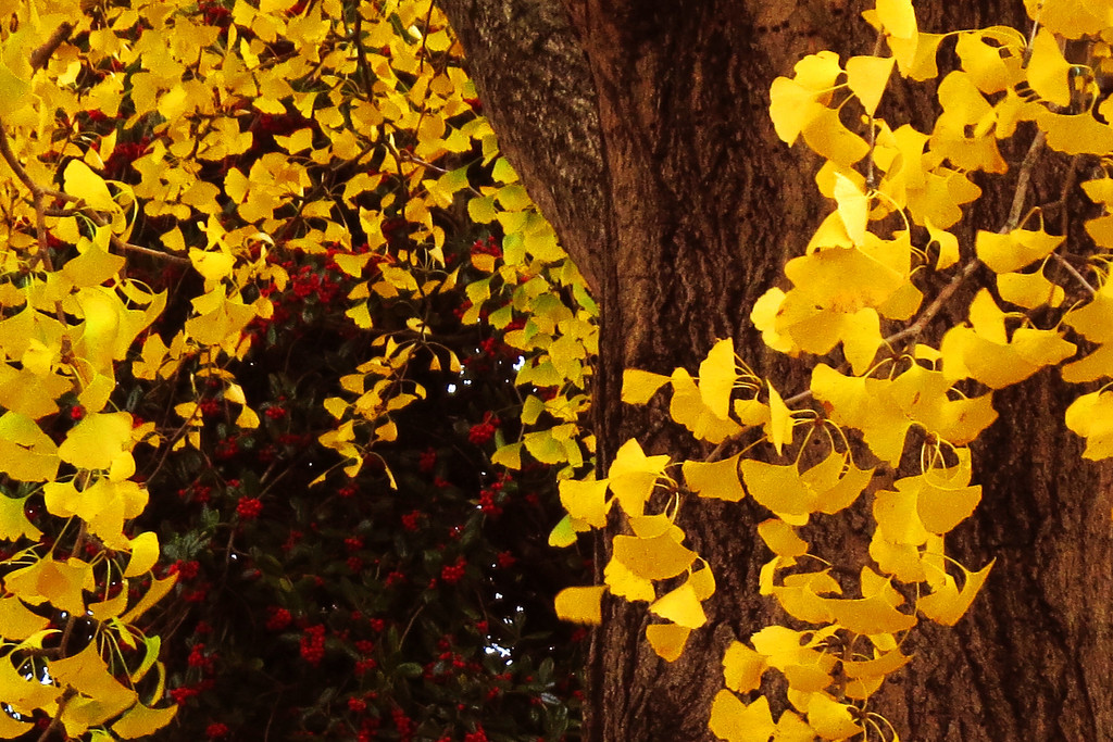 Ginkgo Leaves Shining by milaniet