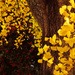 Ginkgo Leaves Shining by milaniet