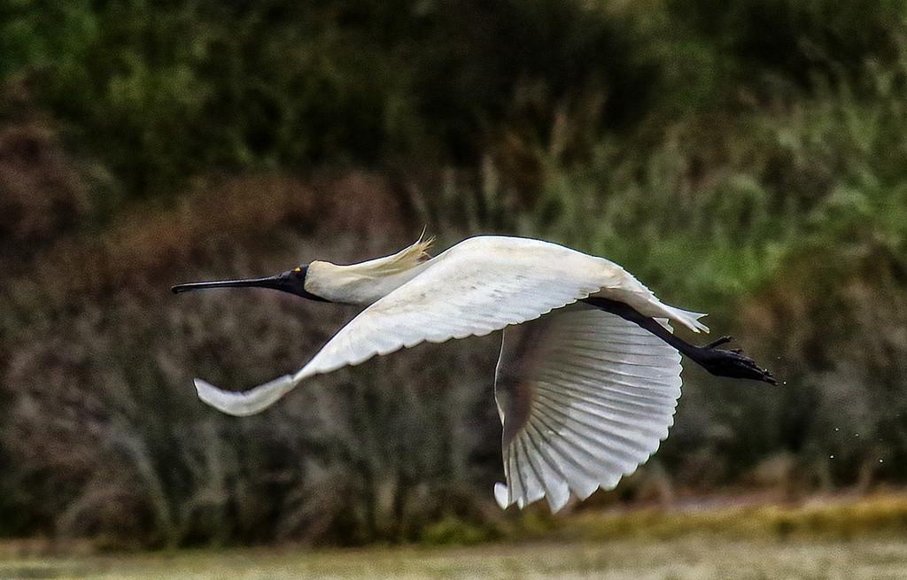 Royal spoonbill in flight by maureenpp