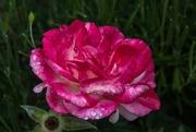 26th Nov 2017 - raindrops on roses